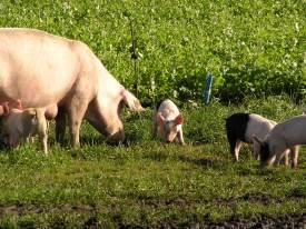 Hoe vaak zie je nog de varkens met hun biggetjes buiten lopen?