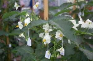 Aan de bestoven bloemen hangen kaartjes met de kruisingscode. Foto H.P Reinders.