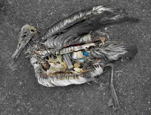 Plastic in de vogelbuik