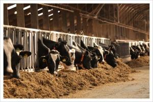 De koeien in de stal (foto: deneelder)