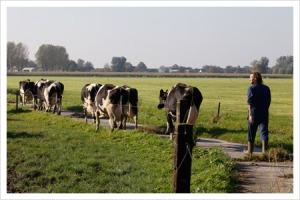 De koeien kunnen lekker naar buiten als ze dat willen (foto: deneelder.nl)