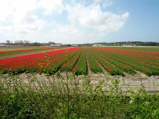 bollenvelden tulp