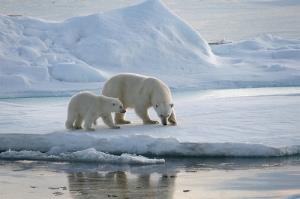 ijsbeer met jong