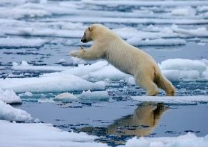 ijsbeer springt