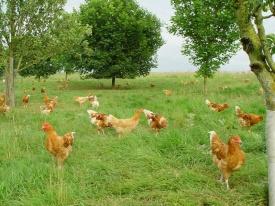 In biologisch dynamische landbouw lopen de kippen lekker buiten en kunnen ze hun natuurlijk gedrag vertonen. De snavels worden niet gekapt.