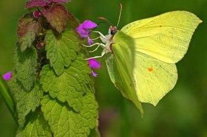 citroenvlinder_gonepteryx_rhamni_brimstone_img_1