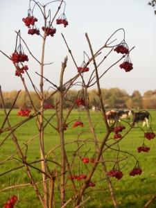 rode bessen kloosterlaantje