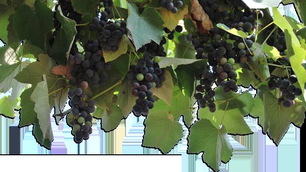 wijnstok-met-druiven