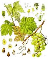 wijnstok-tekening
