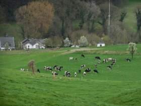 Limburg koeien in de wei kopie