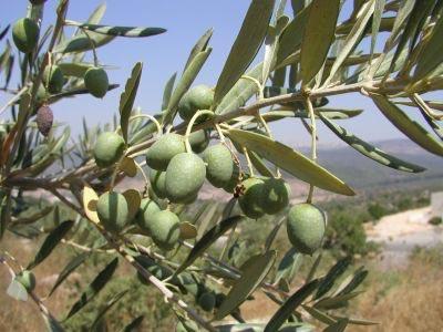 olijven in boom