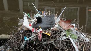 meerkoet op plastic nest-edwin-700.png