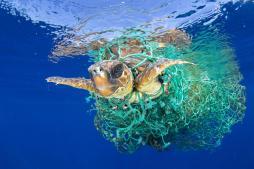 sea turtle in fishing net